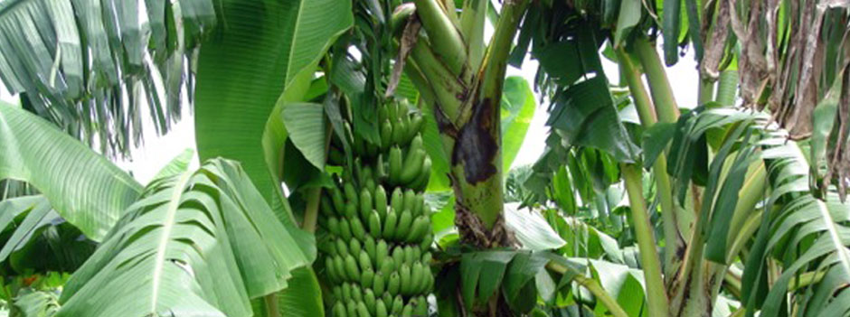 GOING BANANAS specializes only in banana cultivars and tropical trees, including lychee. We strive to give you the very best quality plant material at economical prices.